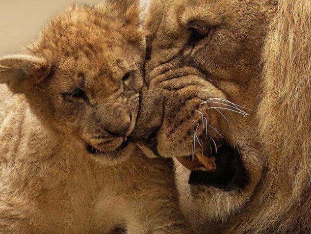 leonessa-famiglia-animali-branco-madre