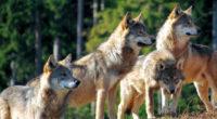 Il lupo è un animale il cui simbolo è bivalente in quanto presenta un lato distruttivo e uno costruttivo. Nella sua valenza solare e luminosa […]